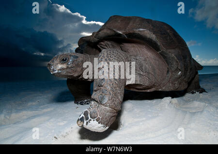 Aldabra giant tortoise (Geochelone gigantea) on beach at dusk, Aldabra Atoll, Seychelles, Indian Ocean - Stock Photo