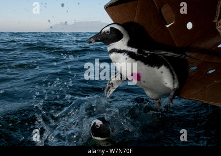 Black footed penguins (Spheniscus demersus) being released at sea near Robben Island in Table Bay after rehabilitation at Southern African Foundation for the Conservation of Coastal Birds (SANCCOB) Cape Town, South Africa - Stock Photo