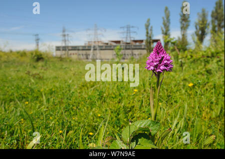 Pyramidal Orchid, (Anacamptis pyramidalis), on brownfield site being cleared for development. Kent, UK, June 2012. - Stock Photo