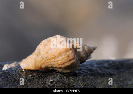 European oyster drill / Sting winkle (Ocenebra erinacea) a pest of oyster beds, on the move over rocks very low on the shore, near Falmouth, Cornwall, UK, August. - Stock Photo