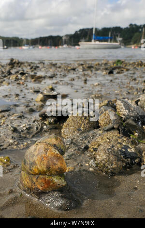 Group of American slipper limpets (Crepidula fornicata), invasive pests of oyster beds in Europe, stacked on top of one another on mudflats near barnacle encrusted Common mussels (Mytilus edulis) with moored sailing yachts in the background, Helford River, Helford, Cornwall, UK, August. - Stock Photo
