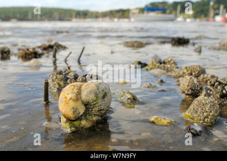 Group of American slipper limpets (Crepidula fornicata), invasive pests of oyster beds in Europe, stacked on top of one another on mudflats near barnacle encrusted Common mussels (Mytilus edulis) and tubes of Peacock worms (Sabella pavonina), with moored boats in the background, Helford River, Helford, Cornwall, UK, August. - Stock Photo