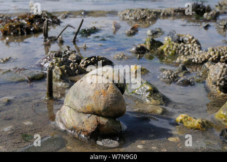 Three American slipper limpets (Crepidula fornicata), invasive pests of oyster beds in Europe, stacked on top of one another on mudflats near barnacle encrusted Common mussels (Mytilus edulis) and tubes of Peacock worms (Sabella pavonina), Helford River, Helford, Cornwall, UK, August. - Stock Photo