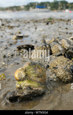Three American slipper limpets (Crepidula fornicata), invasive pests of oyster beds in Europe, stacked on top of one another on mudflats near barnacle encrusted Common mussels (Mytilus edulis) with moored sailing yachts in the background, Helford River, Helford, Cornwall, UK, August. - Stock Photo
