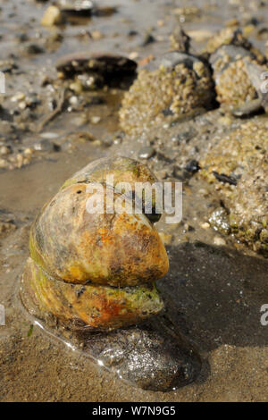 Three American slipper limpets (Crepidula fornicata), invasive pests of oyster beds in Europe, stacked on top of one another on mudflats near barnacle encrusted Common mussels (Mytilus edulis), Helford River, Helford, Cornwall, UK, August. - Stock Photo
