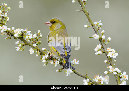 Greenfinch (Carduelis chloris) male perched on Blackthorn in flower, Norfolk, UK, April - Stock Photo