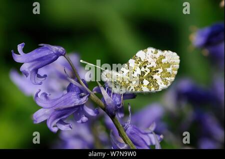 Orange tip butterfly, (Anthocharis cardamines) female resting on Bluebell flower, Norfolk, England - Stock Photo