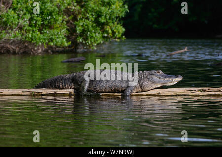 American alligator (Alligator mississippiensis) resting on log, Hillsborough River, Florida, USA - Stock Photo