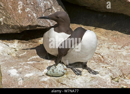 Common guillemot (Uria aalge) pair at nest, one about to incubate an egg while the other watches, Great Saltee Island, Wexford, Ireland, June - Stock Photo