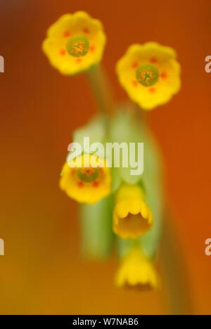 Cowslip (Primula veris)  Mecklenburg-Strelitz, Mecklenburg-Vorpommern, Germany, April - Stock Photo