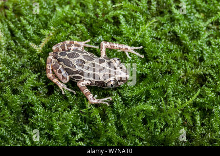Cochran's running frog (Kassina cochranae), captive, native to West Africa - Stock Photo