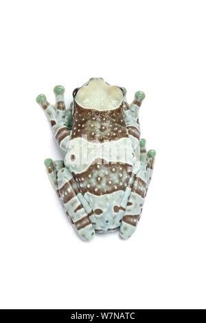 Amazon Milk frog (Phrynohyas resinifictrix), captive, occurs South America - Stock Photo
