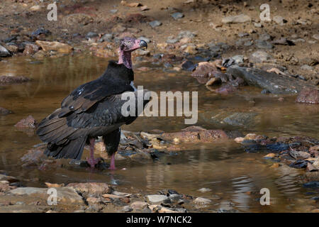 Red headed / Asian king vulture (Sarcogyps calvus) in the river, Kanha National Park, Madhya Pradesh, India, March - Stock Photo