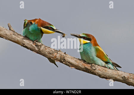 European Bee-eater (Merops apiaster) courting a female by offering it a bee.  Alentejo, Portugal, April. - Stock Photo