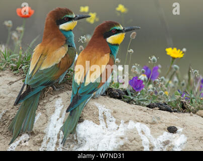 Pair of European Bee-eater (Merops apiaster) on a bank above their nest hole in front of flowers. Note regurgitated pellets of insect remains. Alentejo, Portugal, April. - Stock Photo