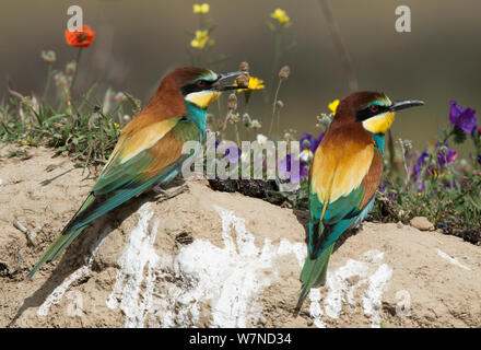 European Bee-eater (Merops apiaster) courting a female by offering it a lump of soil. Before egg-laying, females regularly eat dirt for its mineral content. Alentejo, Portugal, April. - Stock Photo