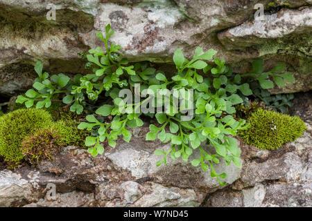 Wall Rue Spleenwort (Asplenium ruta-muraria) growing out of a fissure in a limestone cliff. Lathkill Dale NNR, Peak District National Park, UK. June. - Stock Photo