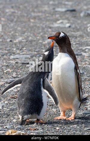 Gentoo Penguins (Pygoscelis papua) chick begging for food, Pygoscelis papua, Gold Harbour, South Georgia, Subantarctic, Antarctic. February. - Stock Photo