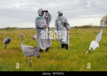 Group of recently released young Common / Eurasian cranes (Grus grus) feeding on grain scattered around adult crane decoys, with two carers wearing crane costumes watching other birds released in flight, Somerset Levels, England, UK, September 2012 - Stock Photo