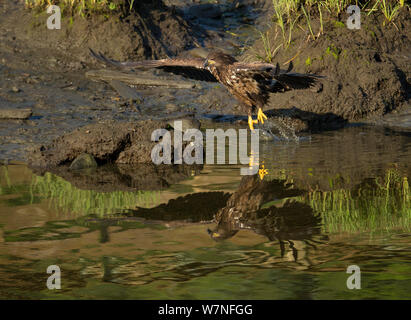American Bald eagle (Haliaeetus leucocephalus) immature individual takes to flight, reflected in Eagle Creek, Ketchikan, Alaska, USA, July - Stock Photo