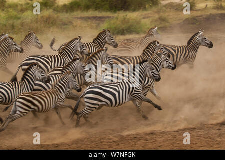 Plains zebra (Equus quagga) scatter after being spooked at a waterhole, Serengeti National Park, Tanzania - Stock Photo