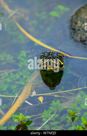 Florida red-bellied cooter / Florida redbelly turtle (Pseudemys nelsoni). Everglades National Park, Florida, USA, February. - Stock Photo