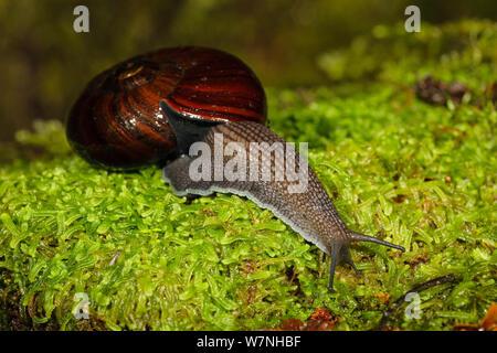 Giant land snail (Powelliphanta spp.) on wet moss, Oparara River, Kahurangi National Park, Buller District, South Island, New Zealand. January, 2006. - Stock Photo