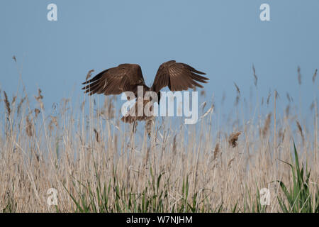 Marsh Harrier (Circus aeruginosus) hunting over reedbed, France, April - Stock Photo