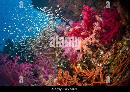 Coral reef scenery with soft corals (Dendronephthya sp) and Pygmy sweepers (Parapriacanthus guentheri). Egypt, Red Sea. - Stock Photo