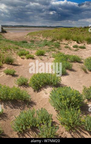Sea spurge (Euphorbia paralias) growing in coastal dunes, Norfolk, UK August - Stock Photo