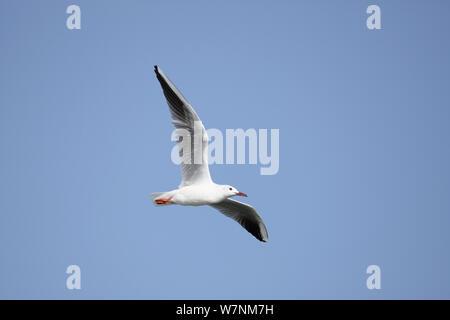 Slender billed gull (Chroicocephalus genei) in flight, Oman, February - Stock Photo