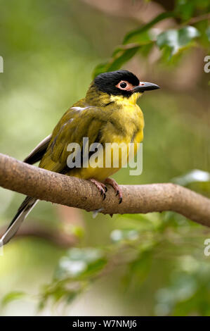 Australasian or Yellow Figbird (Sphecotheres vieilloti) Port Douglas, Queensland, Australia, captive (wild bird in rehab centre) - Stock Photo