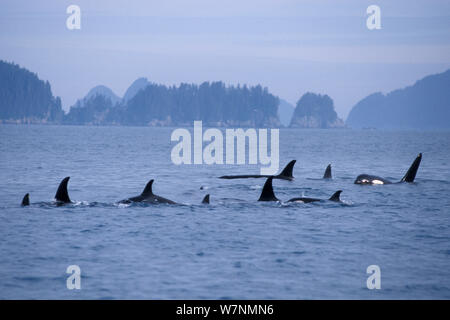 Killer whale (Orcinus orca) large pod with one male approaching, in Kenai Fjords National Park, Chiswell Islands National Marine Sanctuary, South Central Alaska, USA - Stock Photo