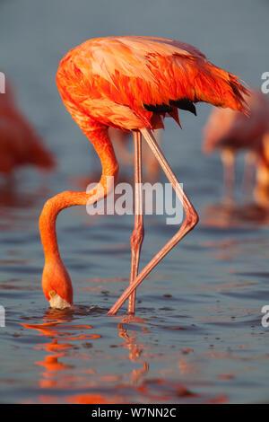 American Flamingo (Phoenicopterus ruber) feeding, Ria Lagartos Biosphere Reserve, Yucatan Peninsula, Mexico, August. - Stock Photo