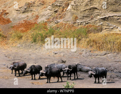 African buffalo (Syncerus caffer) mud bathing in a dry riverbed, Kruger National Park, Transvaal, South Africa, September. - Stock Photo