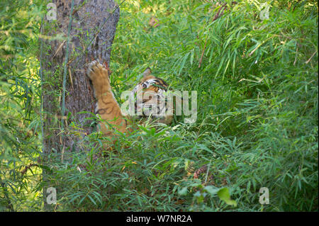 Bengal Tiger (Panthera tigris), large six year old adult male rearing up to scratch off and eat bark, thought to soothe an upset stomach. Endangered. Bandhavgarh National Park, India. Non-ex. - Stock Photo