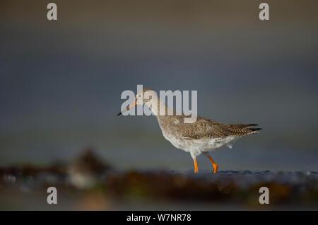 Redshank (Tringa totanus) adult foraging on beach. Shetland Islands, Scotland, UK, September. - Stock Photo