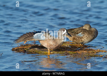 Blue-winged Teal (Anas discors) pair perched on floating vegetation, male stretching its wing and leg, Merritt Island National Wildlife Refuge, Florida, USA. March - Stock Photo