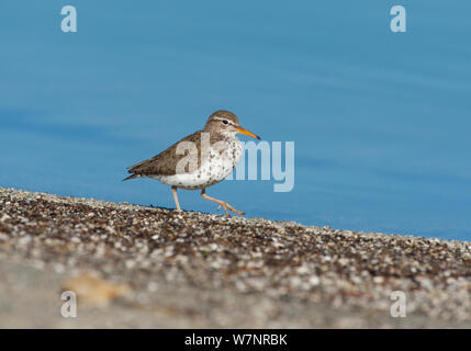 Spotted Sandpiper (Actitis macularia), adult in breeding plumage walking along shore of Mono Lake, spring, California, USA, June.