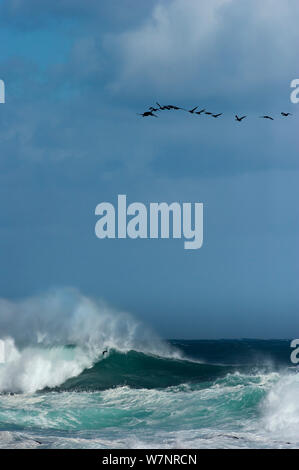 A flock of Cape Cormorant / Shag, (Phalacrocorax capensis) flying over rough sea, Cape of Good Hope, South Africa, November - Stock Photo
