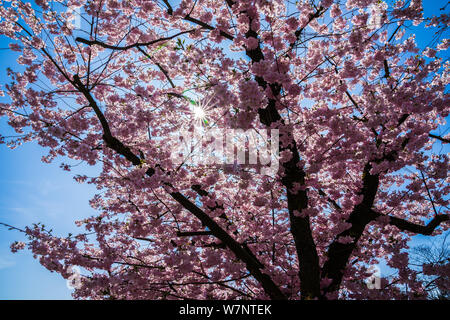 Germany, Sunrays shining through pink colorful cherry tree blossoms in springtime - Stock Photo