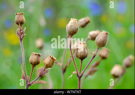 Red campion (Silene dioica) seed heads, Norfolk, UK, July - Stock Photo
