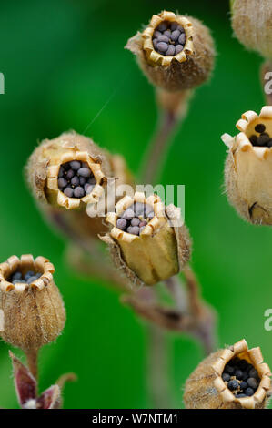 Red campion (Silene dioica) close up of seed heads, Norfolk, UK, July - Stock Photo
