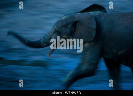 African Forest elephant (Loxodonta africana cyclotis) subadult scenting air, blurred motion at dusk, Dzanga Bai, Dzanga-Ndoki National Park, Central African Republic - Stock Photo