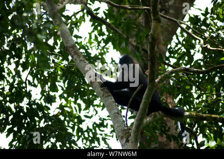 Grey Cheeked mangabey (Lophocebus albigena) up in canopy, Bai Hokou, Dzanga-Ndoki National Park, Central African Republic - Stock Photo