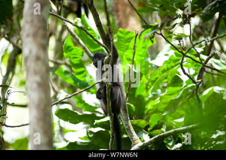 Grey cheeked mangabey (Lophocebus albigena) up in tree, Bai Hokou, Dzanga-Ndoki National Park, Central African Republic - Stock Photo