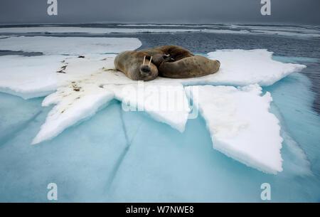 Walrus (Odobenus rosmaris) group resting on ice floe, Svalbard, Norway - Stock Photo