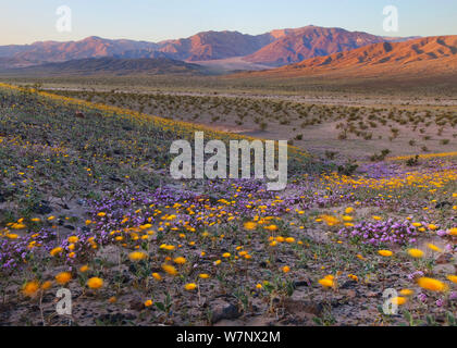 Desert Gold (Geraea canescens) and Sand Verbena (Abronia villosa) flowering in Death Valley National Park,  California. Only once every 3-8 years do the flowers put on such a spectacular spring show; their timing is tied to the large amounts of rainfall brought by El Niño storms, April 2010 - Stock Photo