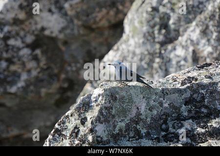 Blue Rock Thrush (Monticola solitarius) in rock. Extramadura, Spain, May.
