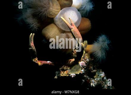 Cryptic Kelp Crab (Pugettia richii) and Plumose Anemones (Metridium giganteum). Vancouver Island, British Columbia, Canada, Pacific Ocean - Stock Photo